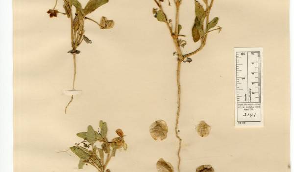 Photo of a pressed herbarium specimen of Sand Verbena.