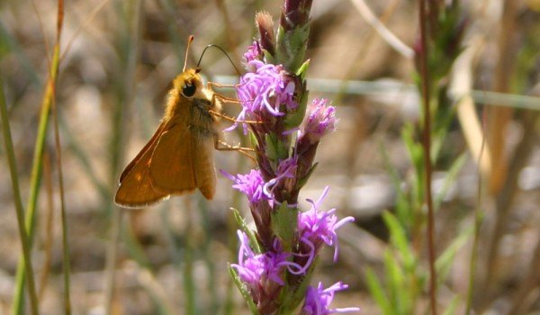 Photo of a skipper on a Dotted Blazingstar flower head.