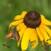 Photo of a Poweshiek Skipperling butterfly on a Black-eyed Susan flower head.