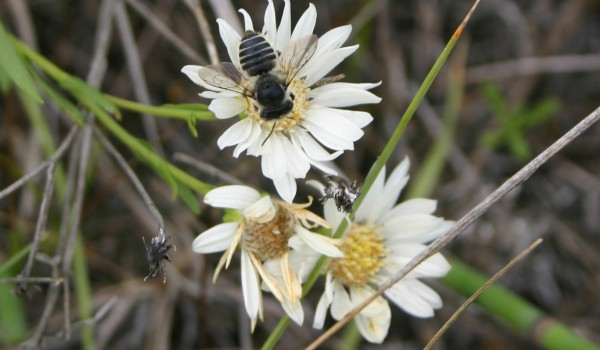 Photo of a leafcutter bee on a Upland White Goldenrod flower head.