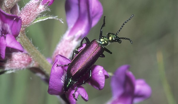 Photo of a Nuttall's Blister Beetle on milk-vetch flowers.
