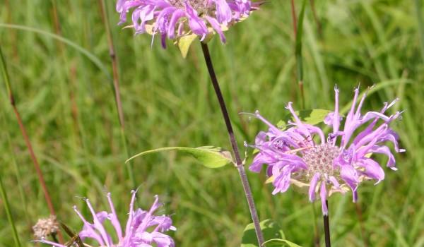 Photo of a Wild Bergamot plant.