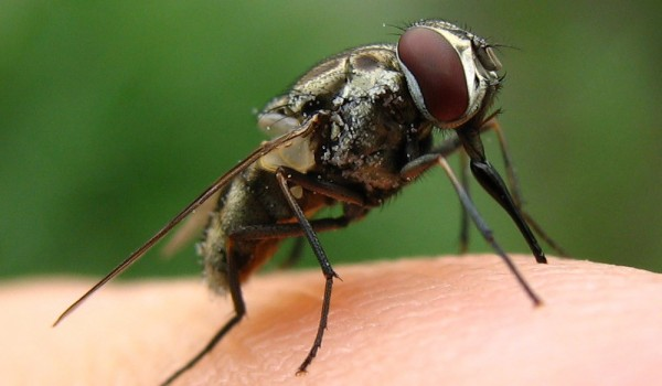 Photo of a stable fly on a finger.