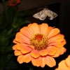 Photo of an owlet moth hovering over a flower.