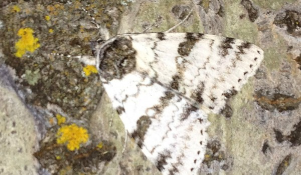 Photo of a White Underwing moth on a Trembling Aspen tree trunk.