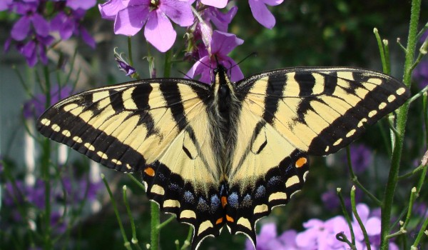 Photo of a Tiger Swallowtail on a Dame's Rocket flower.