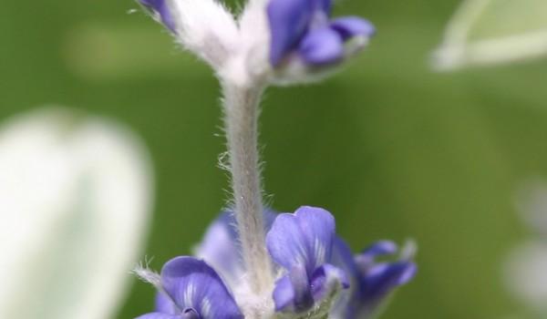 Photo of a Silverleaf Psoralea plant.