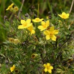 Photo of a Shrubby Cinquefoil plant.