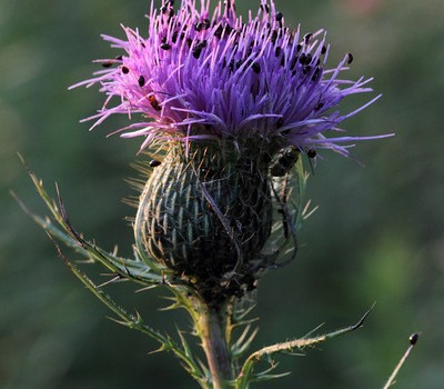 Photo of Shining Flower Beetles on a thistle flower head.