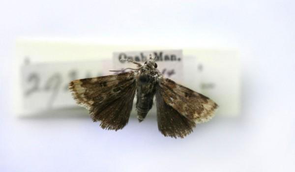 Photo of a Gold-edged Gem moth (Schinia avemensis), back view.
