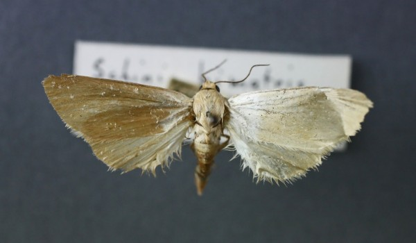 Photo of a White Flower Moth (Schinia bimatris) back view.