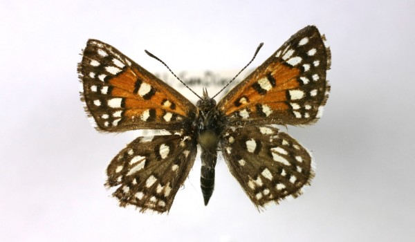 Photo of a preserved specimen of a Mormon Metalmark butterfly (Apodemia mormo), back view.