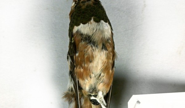 Photo of a preserved, mature, male Rufous Hummingbird specimen (abdominal view).