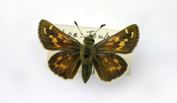 Photo of a preserved specimen of Plains Skipper (Hesperia assiniboia), back view.