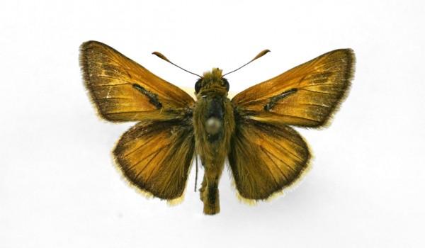 Photo of a preserved specimen of Dakota Skipper (Hesperia dacotae) back view.