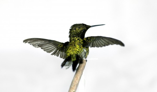 Photo of a preserved, mature, male Ruby-throated Hummingbird specimen (back view).