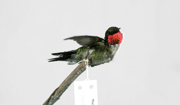 Photo of a preserved, mature, male Ruby-throated Hummingbird specimen (side view).