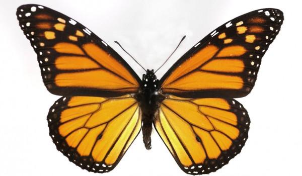 Photo of a preserved specimen of Monarch (Danaus plexippus), back view.