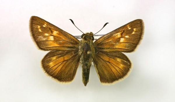 Photo of a preserved specimen of Ottoe Skipper (Hesperia ottoe) back view.