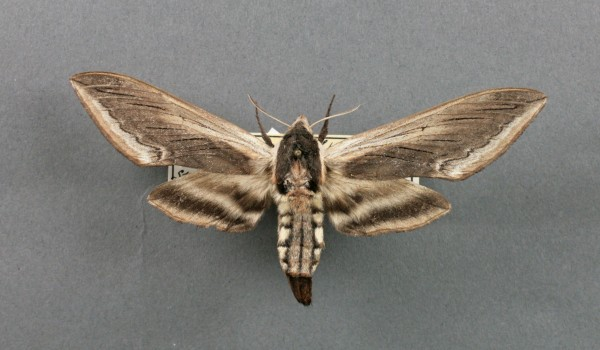 Photo of a preserved specimen of Wild Cherry Sphinx moth (Sphinx drupiferarum), back view.