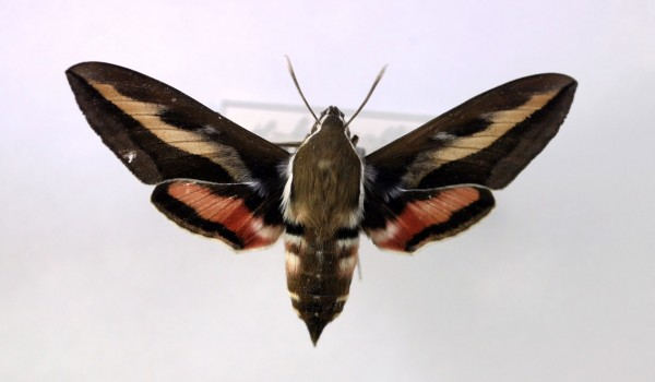 Photo of a preserved specimen of Gallium Sphinx moth (Hyles gallii), back view.