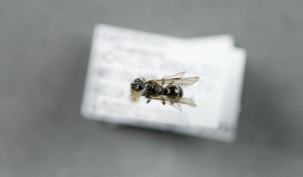 Photo of a preserved specimen of Lasioglossum leucozonium, back view.