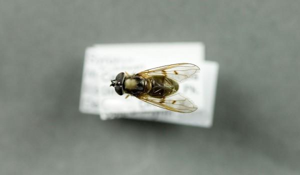 Photo of a preserved specimen of Myolepta, back view.