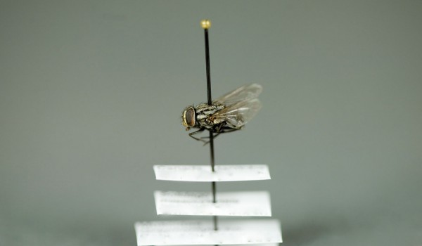 Photo of a preserved specimen of Graphomyia, side view.