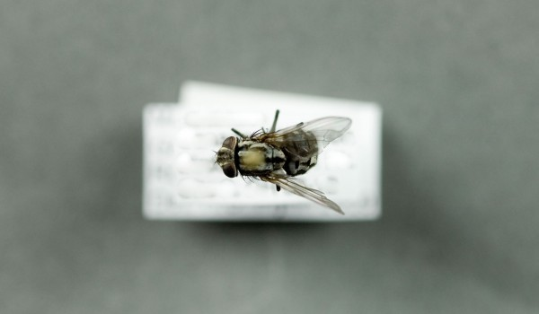 Photo of a preserved specimen of Graphomyia, back view.