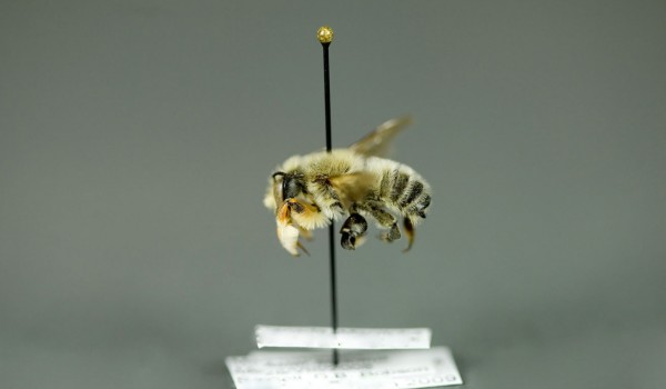 Photo of a preserved specimen of Leafcutting Bee (Megachile latimanus), side view.