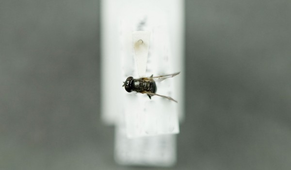 Photo of a preserved specimen of Pipzia, back view.