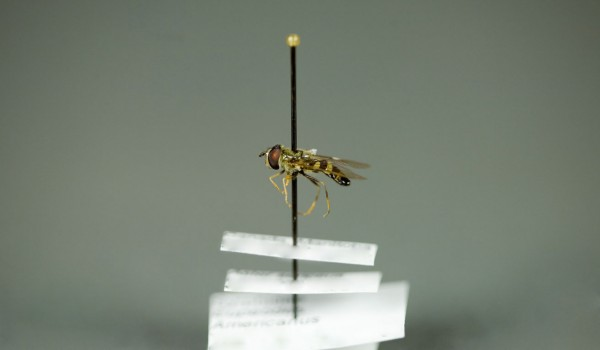 Photo of a preserved specimen of American Hover Fly (Eupeodes americanus), side view.