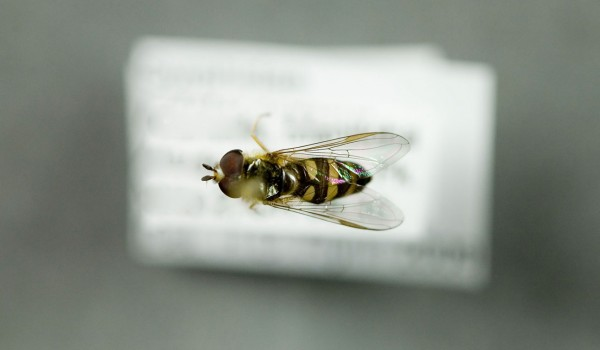 Photo of a preserved specimen of American Hover Fly (Eupeodes americanus), back view.