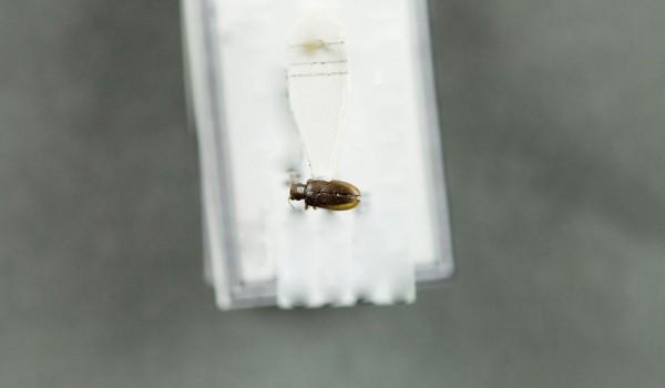 Photo of a preserved specimen of Orsodacne atra, back view.