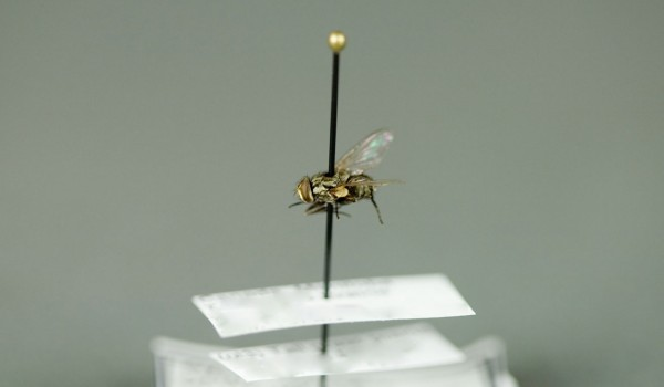 Photo of a preserved specimen of Stable Fly (Stomoxys calcitrans), side view.
