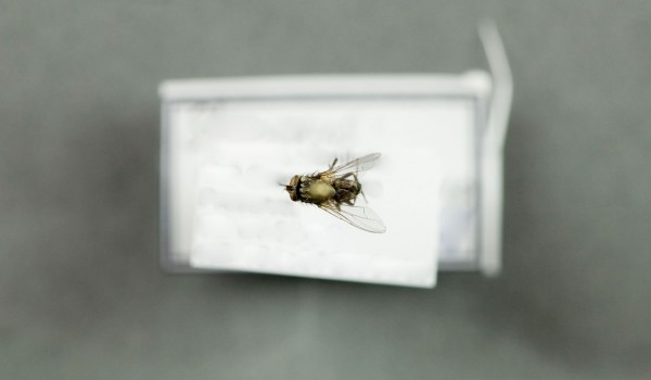Photo of a preserved specimen of Stable Fly (Stomoxys calcitrans), back view.