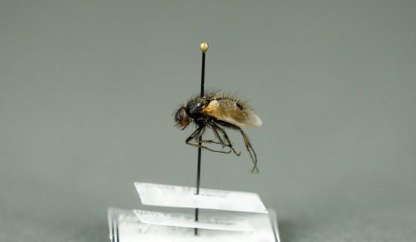 Photo of a preserved specimen of Haematobosca alcis, side view.
