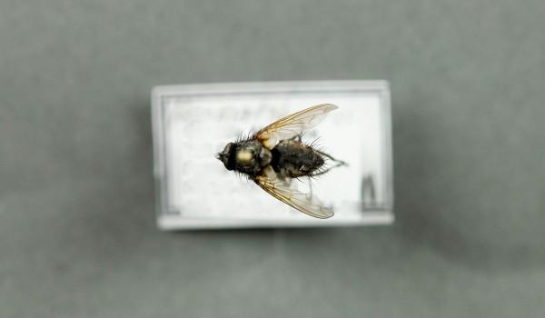 Photo of a preserved specimen of Haematobosca alcis, back view.