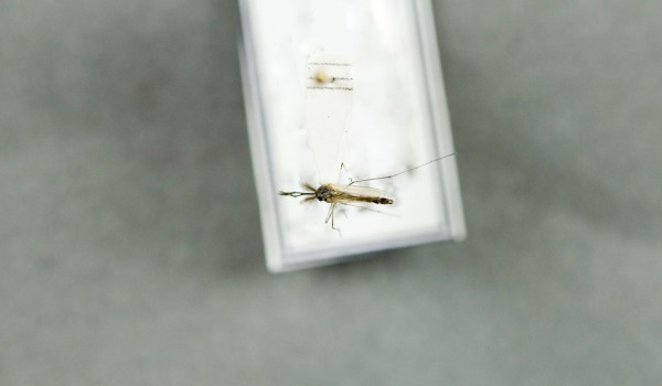 Photo of a preserved specimen of Aedes nigripes, back view.