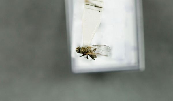 Photo of a preserved specimen of Crinurina, back view.