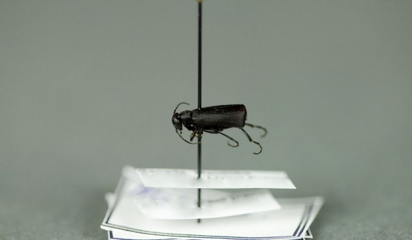 Photo of a preserved specimen of Black Blister Beetle (Epicauta pennsylvanica), side view.
