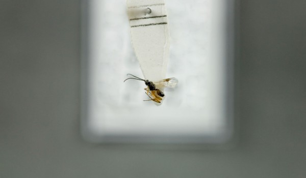 Photo of a preserved specimen of Braconid wasp, back view.