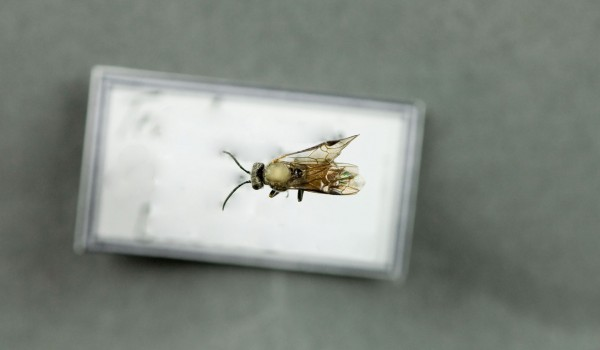 Photo of a preserved specimen of Dolerus, back view.