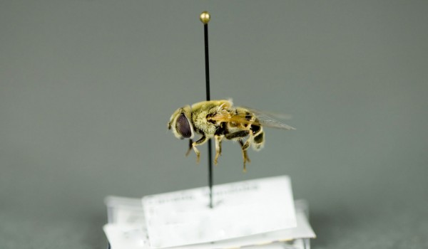 Photo of a preserved specimen of Eristalis, side view.