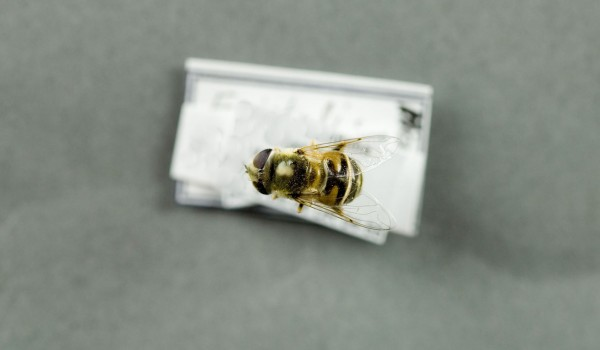 Photo of a preserved specimen of Eristalis, back view.