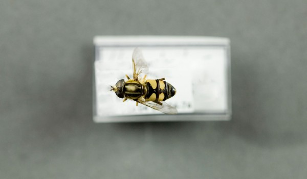 Photo of a preserved specimen of Helophilus back view.