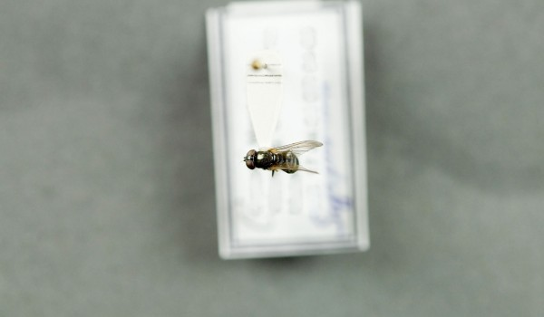 Photo of a preserved specimen of Cheilosia back view.