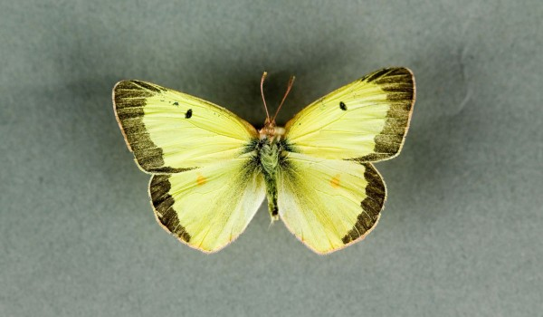 Photo of a preserved specimen of a Common Sulphur butterfly (Colias philodice), back view.