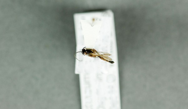 Photo of a preserved specimen of an Oxytorinae species, back view.