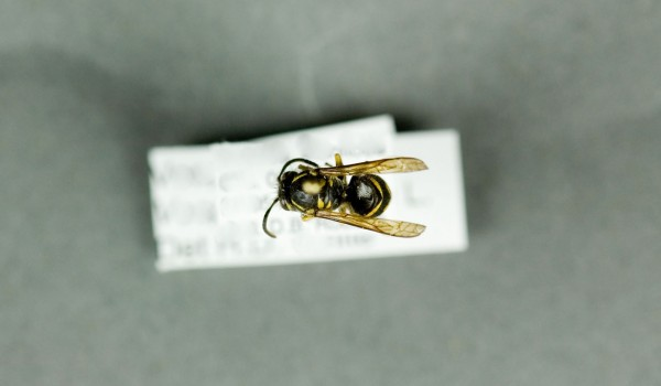 Photo of a preserved specimen of Common Wasp (Vespula vulgaris), back view.